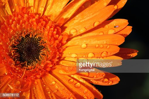 Orange Blume : Stock-Foto