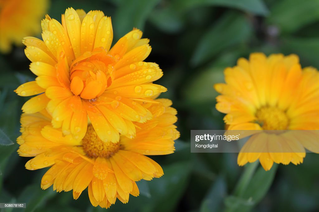 oranges flower : Stock Photo
