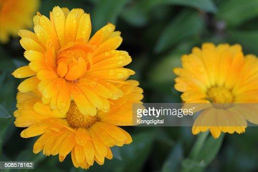 oranges flower : Stockfoto