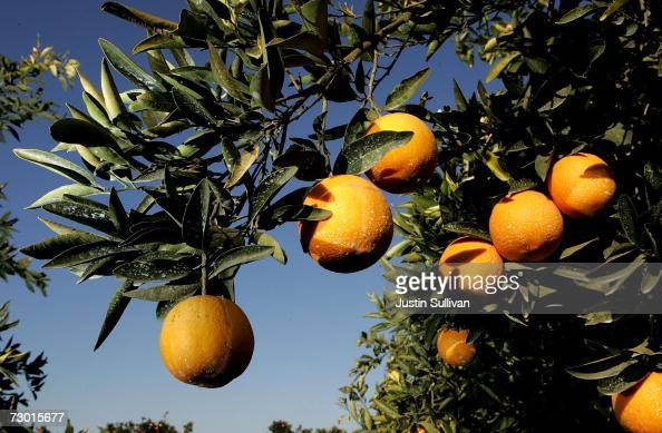 Oranges hang from a tree at a citrus orchard January 16 2007 in Fresno California An estimated 70% of California's citrus crops have been damaged by...