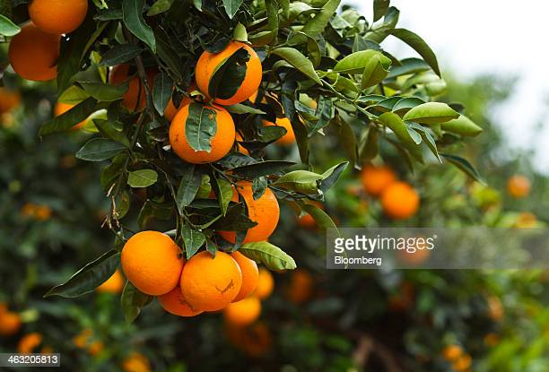 Oranges hang from trees before harvest at the Naranjas Torres grove operated by Torres Hermanos y Sucesores SA in Almenara Spain on Thursday Jan 16...