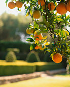 Oranges on tree, close-up