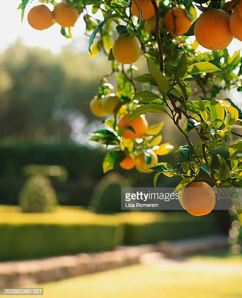 Oranges on tree, close-up