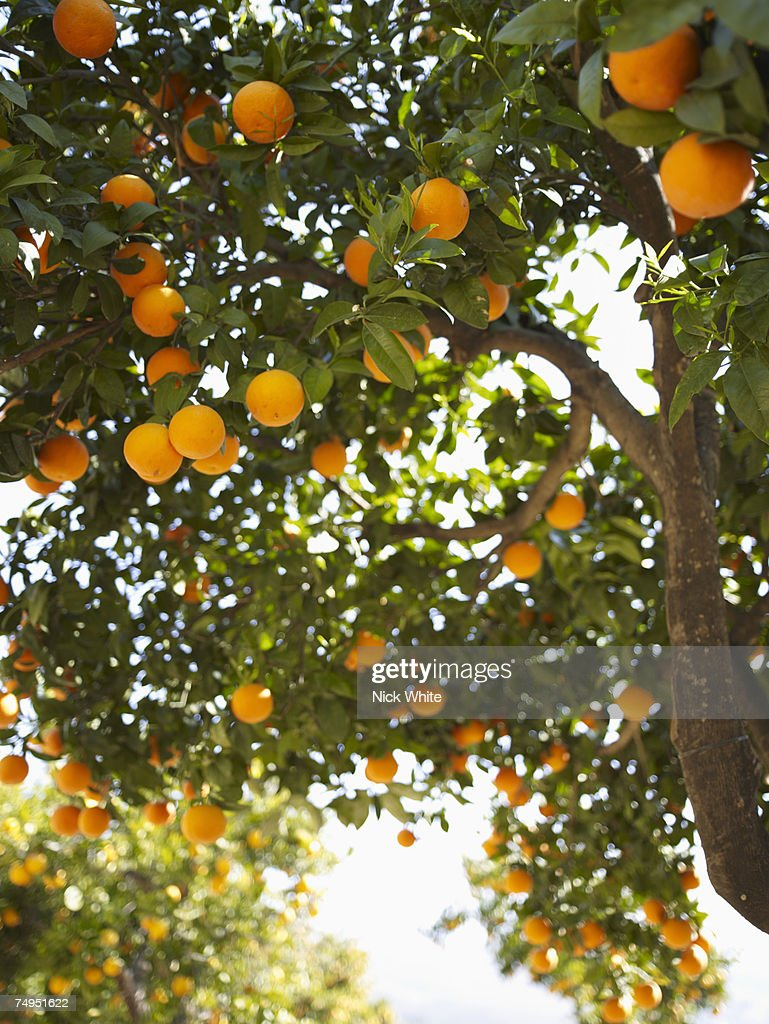 Oranges on tree in orchard : Stock Photo