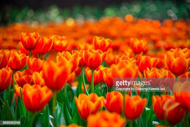 Orange-Yellow tulip flowers with bokeh