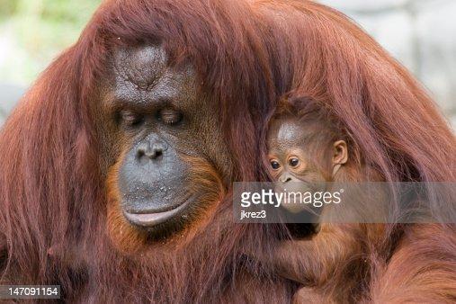 Orangutan and baby : Stock Photo
