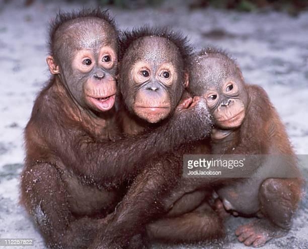 Orangotango Bebés