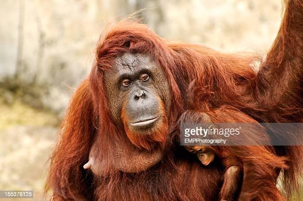 Orangutan Baby and Mother