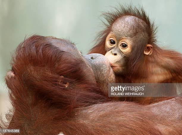 Orangutan baby 'Changi' kisses his mother 'Lea' on January 24 2012 at the zoo in Krefeld western Germany 'Changi' was born at the zoo in July 2010...