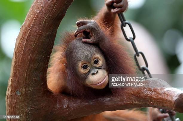Orangutan baby 'Changi' practises some gymnastics on January 24 2012 at the zoo in Krefeld western Germany 'Changi' was born at the zoo in July 2010...
