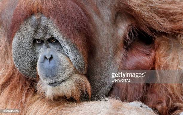 Orangutan Bimbo is pictured on April 3 2017 at the zoo in Leipzig eastern Germany / AFP PHOTO / dpa / Jan Woitas / Germany OUT