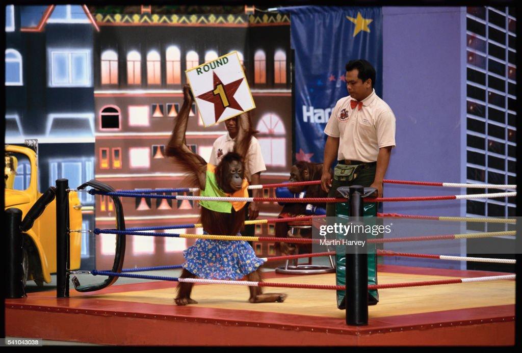 Orangutan Boxing Match