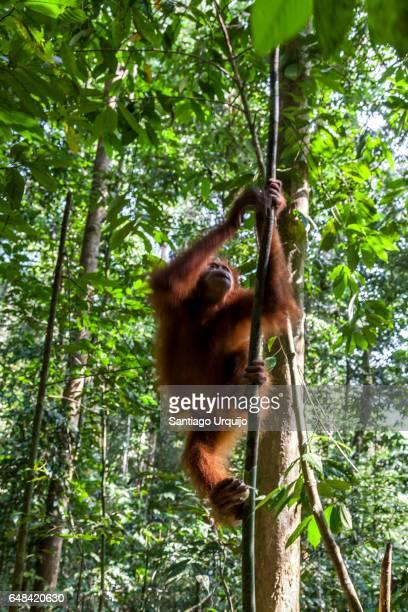Orangutan climbing up a tree