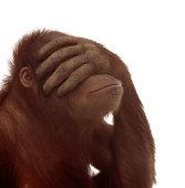Orangutan (Pongo pygmaeus) covering eyes with hand