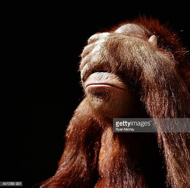 Orangutan (Pongo pygmaeus) covering face with hand
