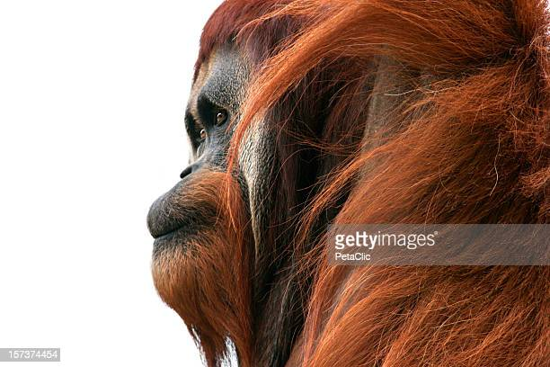 Orangutan deep in thought