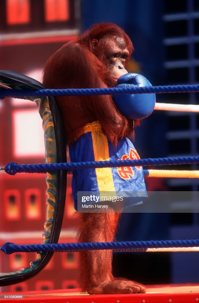 Orangutan Dressed as Boxer in Thailand