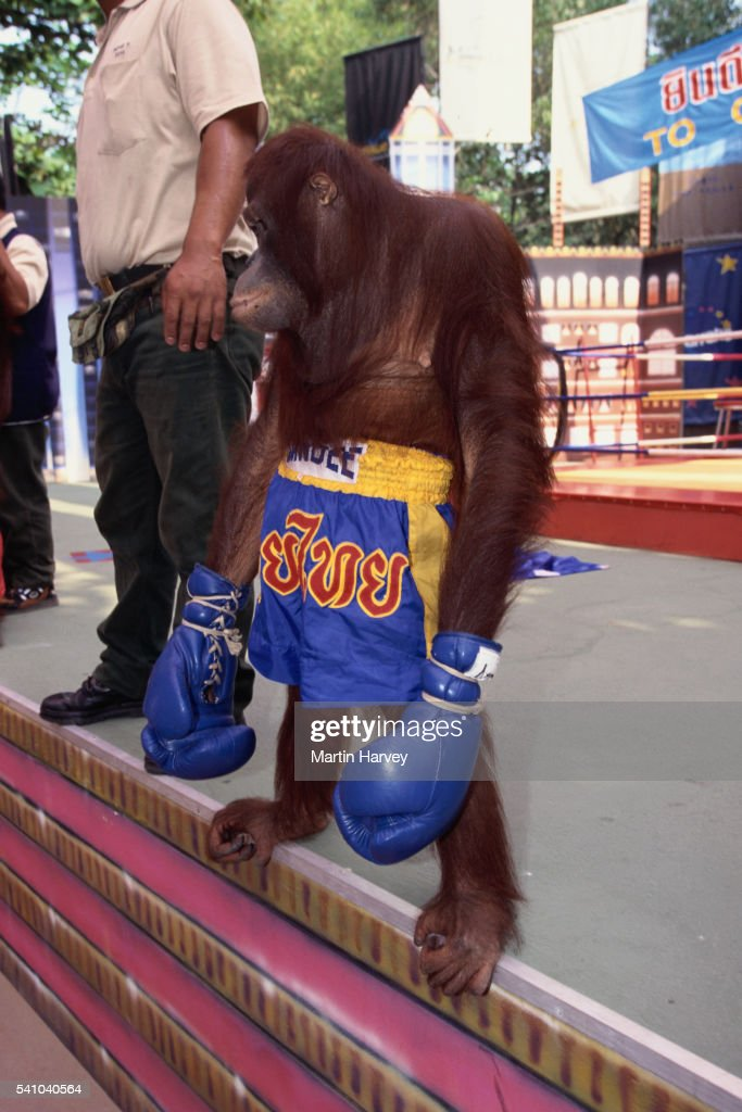Orangutan Dressing in Boxing Gloves and Shorts
