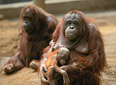 Orangutan family in zoo
