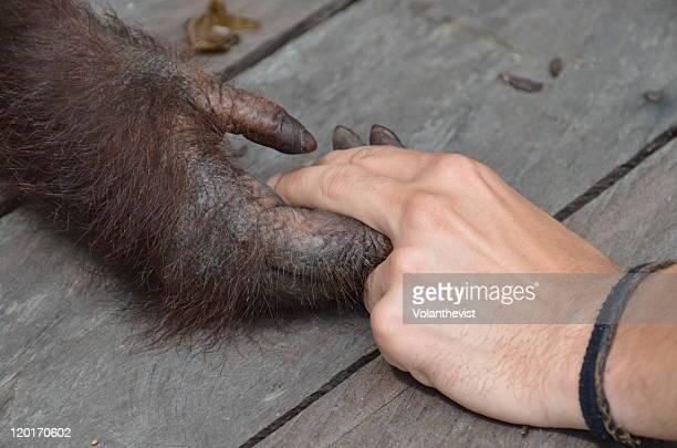 Orangutan hand with human hand