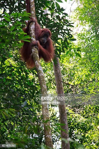 Orangutan hanging on a tree