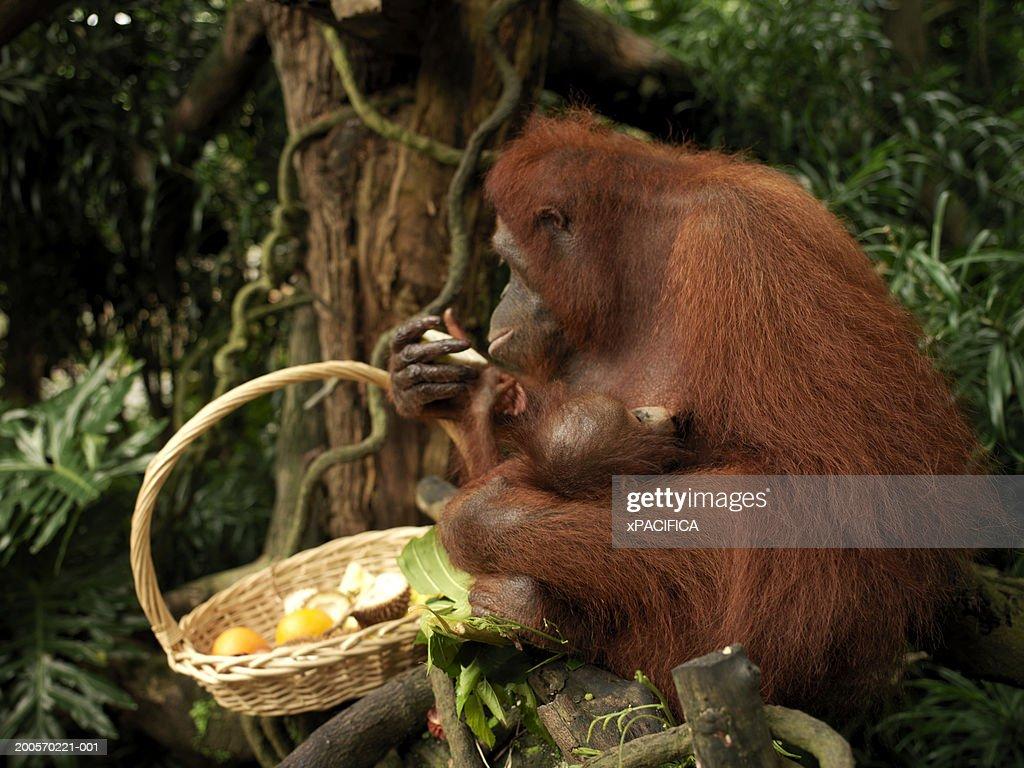 Orangutan holding basket of fruit, Singapore Zoo, Singapore