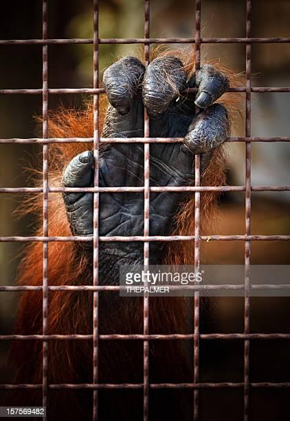 orangutan in captivity