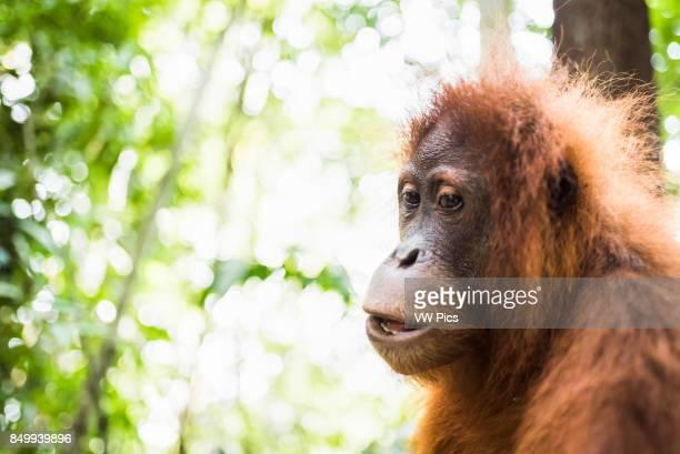 Orangutan in the jungle Bukit Lawang Gunung Leuser National Park Sumatra Indonesia