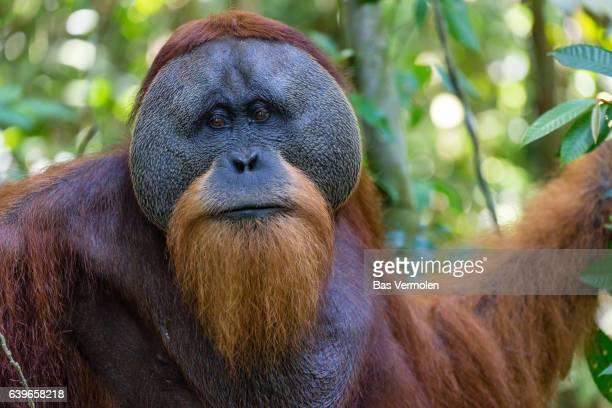 Orangutan male, Indonesia