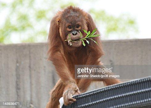 orangutan monkey