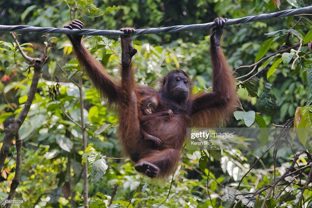 Orangutan mother with cub in the jungle in Borneo