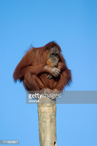 Orangutan perched on a pole