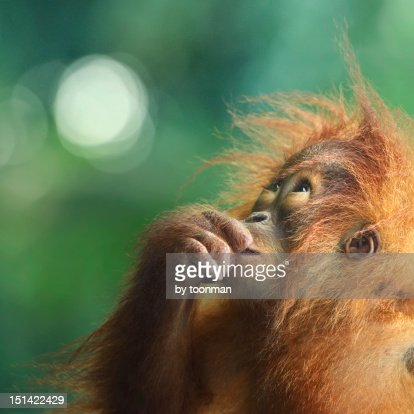 Orangutan : Stock Photo