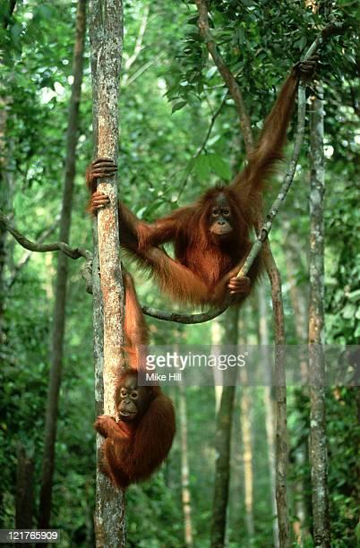 orangutan: pongo pygmaeus  in forest trees  kalimantan, indo nesia