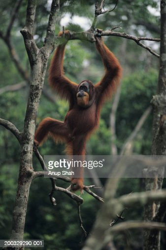 Orang-utan (Pongo pygmaeus) standing on tree, Gunung Leuser National Park, Indonesia