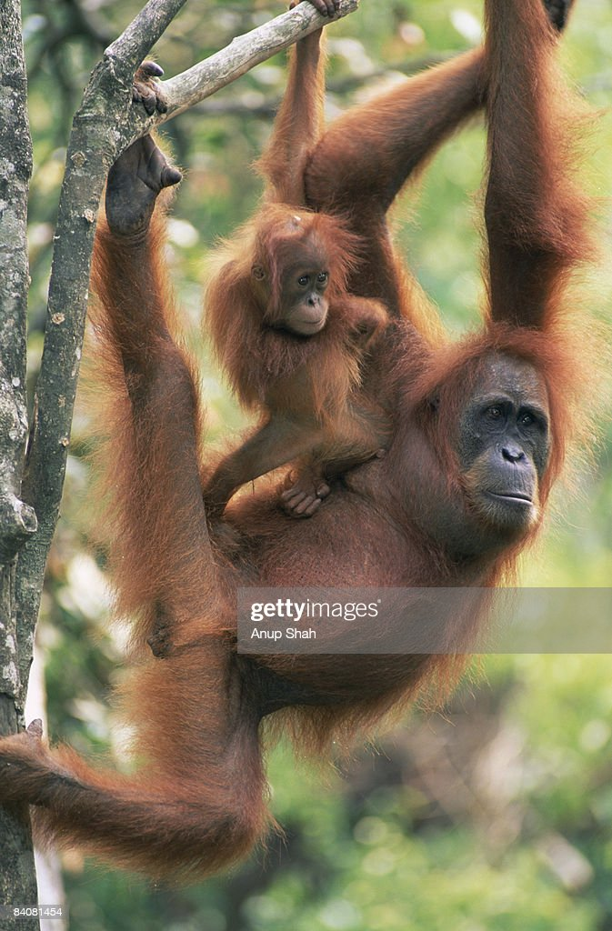 Orangutan with baby perched on back