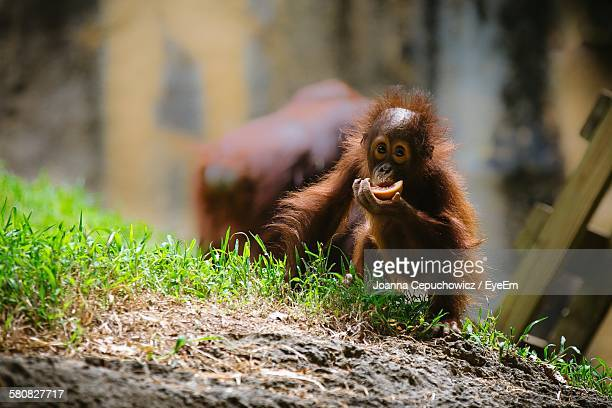 Orangutan With Infant Feeding In Zoo