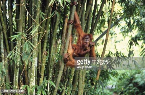 Orang-utan (Pongo pygmaeus) with young hanging from tree trunk, Gunung Leuser National Park, Indonesia
