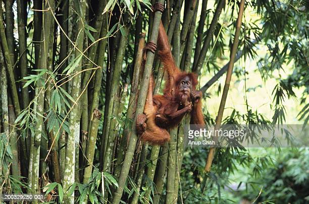 Orang-utan (Pongo pygmaeus) with young hanging from tree trunk, Gunung Leuser National Park, Indonesia