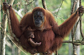 Orang-utan (Pongo pygmaeus) with young sitting on branches, Gunung Leuser National Park, Indonesia