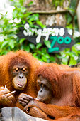 Orang-utans at Singapore Zoo.