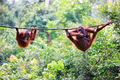 'Mother, baby and child orangutans from Sabah in Malaysian Borneo'