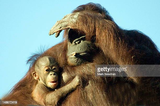 Orangutans, mother & baby (Pongo pygmaeus), Tampa Zoo.