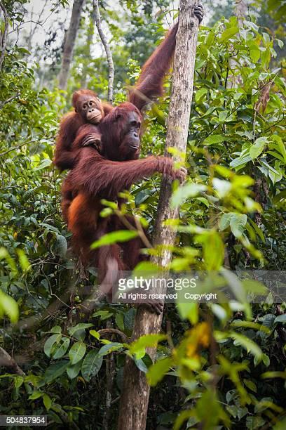 Orangutans (Borneo, Indonesia)