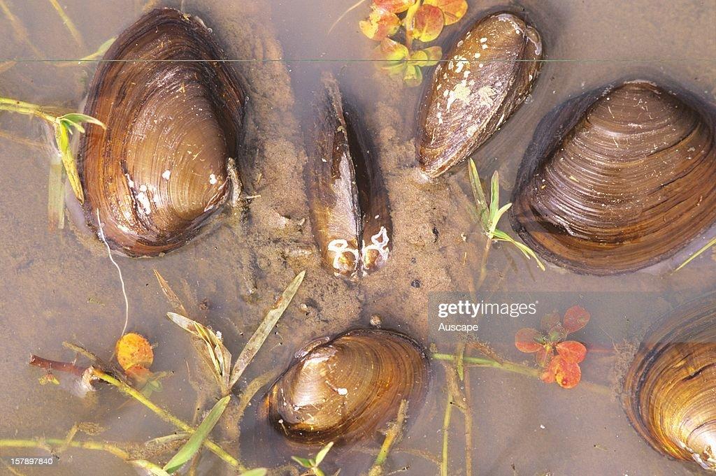 Orb shell mussels on wetland edge Lake Broadwater Queensland Australia