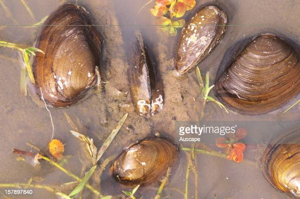Orb shell mussels on wetland edge Lake Broadwater Queensland Australia