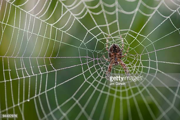 Orb spider in center of web