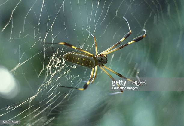 Orb weaver spider Costa Rica Araneidae