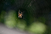Orb Weaver Spider in the middle of an Orb Web