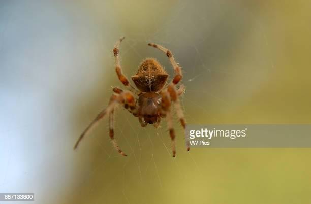 Orbweaver Spider Cross orbweaver female Descanso Gardens Southern California